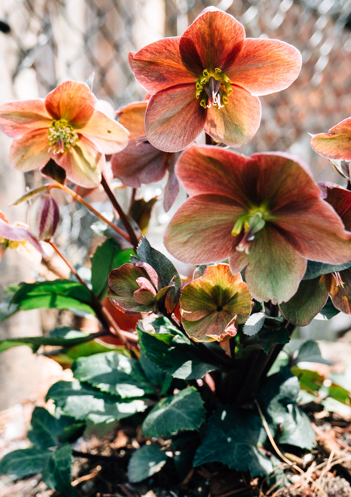 For early winter blooms, you can count on these pretty hellebores. Purchase them grown already and plop them in the ground when the temperature is over freezing.