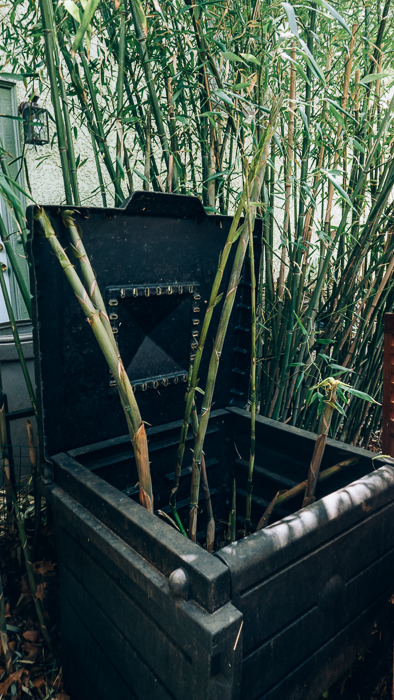 I have been warned about planting bamboo in the ground. It is fast growing, up to several feet a day and it will take over your yard like it has taken over this compost bin. Best to plant in a pot!