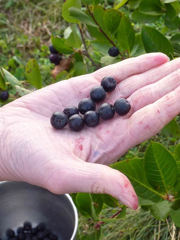 Aronia are about the size of a large Blueberry.