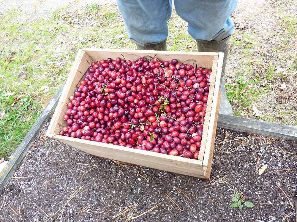 The freshly picked cranberries!