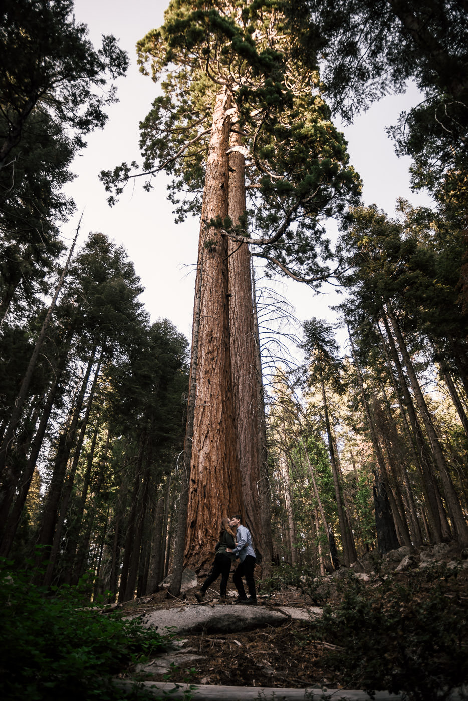 stunning photograph of a couple kissing before a giant sequoia  at their national park engagement captured by a wedding photographer