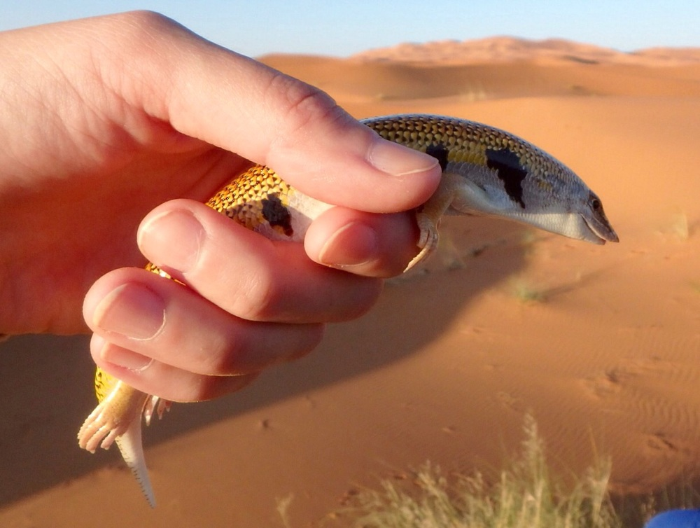 A sand salamander found by our guide.