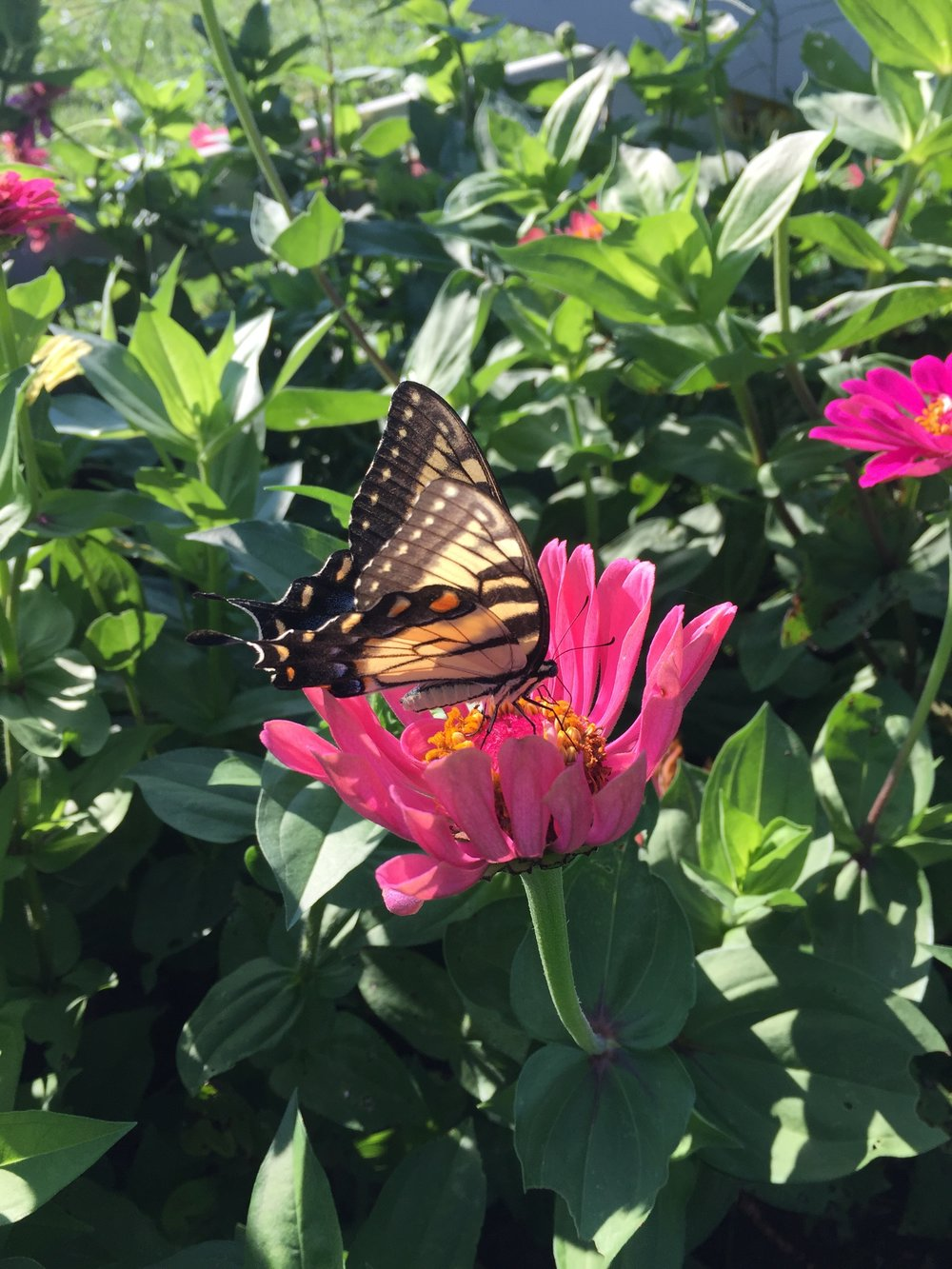 Yayas butterfly
