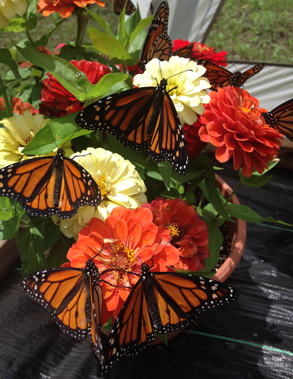Join us! - Join us on August 19th at the Ballantine Park Pavilion from 1 to 3 PM for an up-close and personal butterfly encounter! Geared for children ages 4 through 12, there will be fun, games, and lots of butterflies to feed!