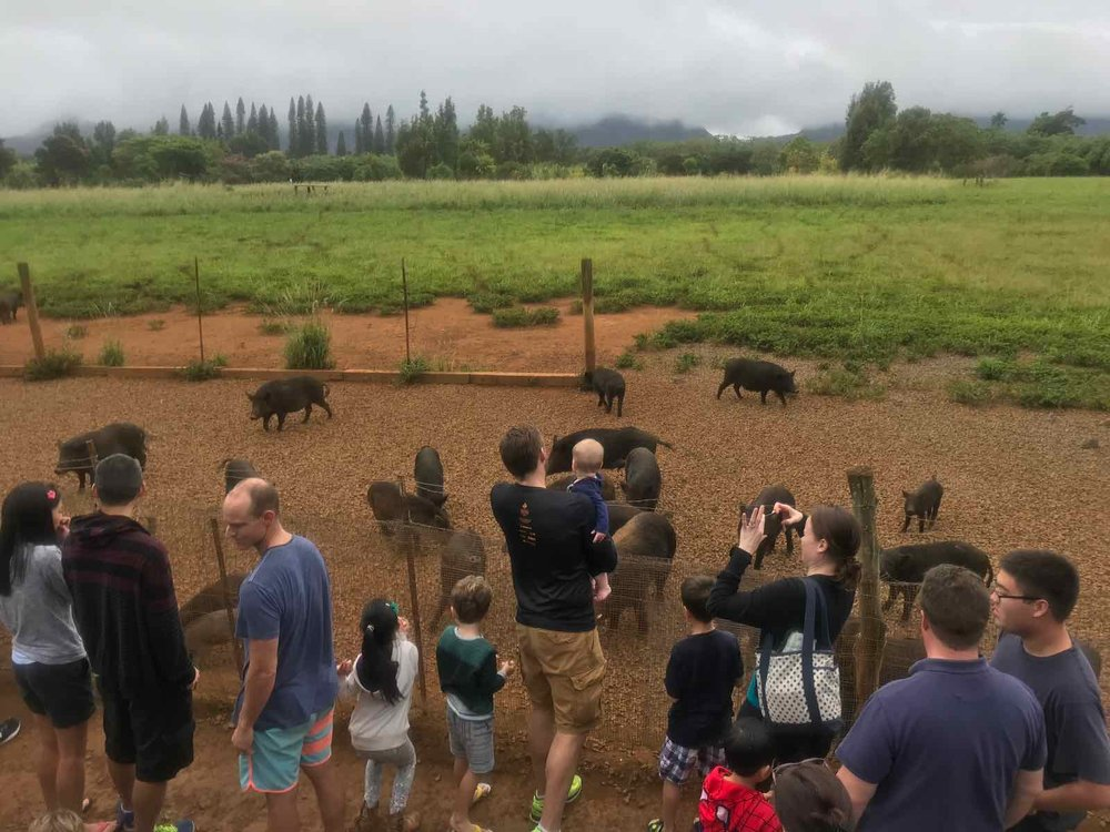 Kauai-Plantation-Railway-Pigs.jpg