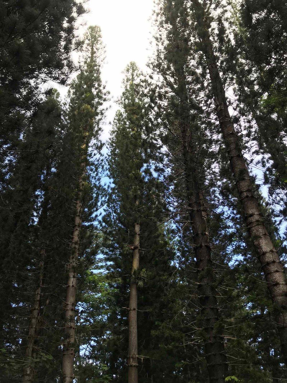 wai-kola-loop-trail-trees.jpg