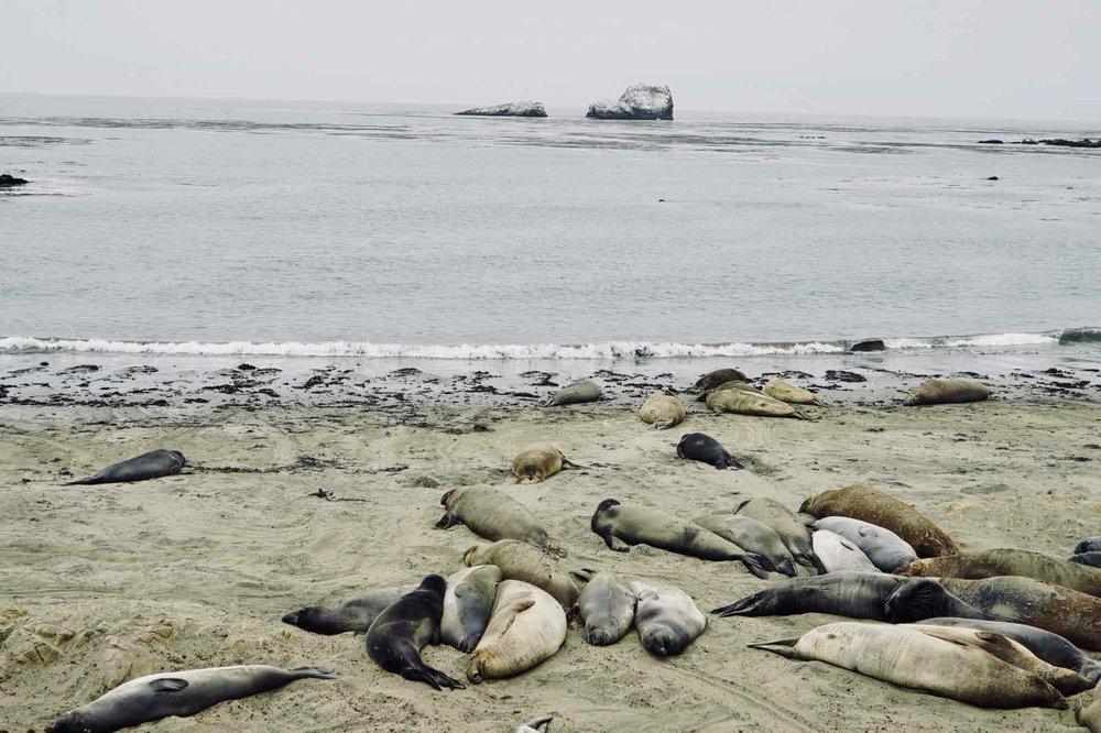 elephant-seals-cambria-CA.jpg