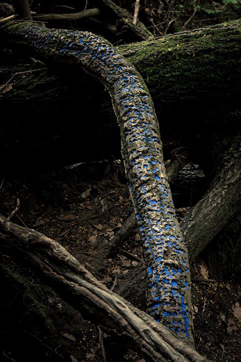 Tree Bark Holes  (blue sand) / Napa, CA