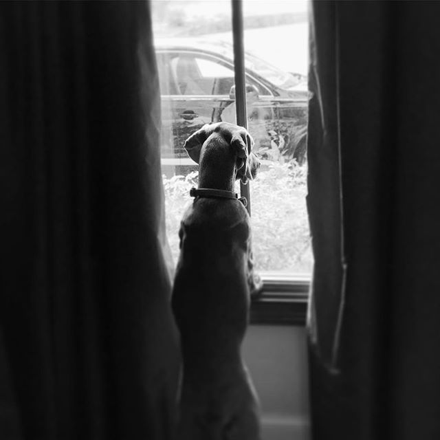 Today's employee of the day, Zoe, keeps an eye on the vehicles while we work. #weimaraner