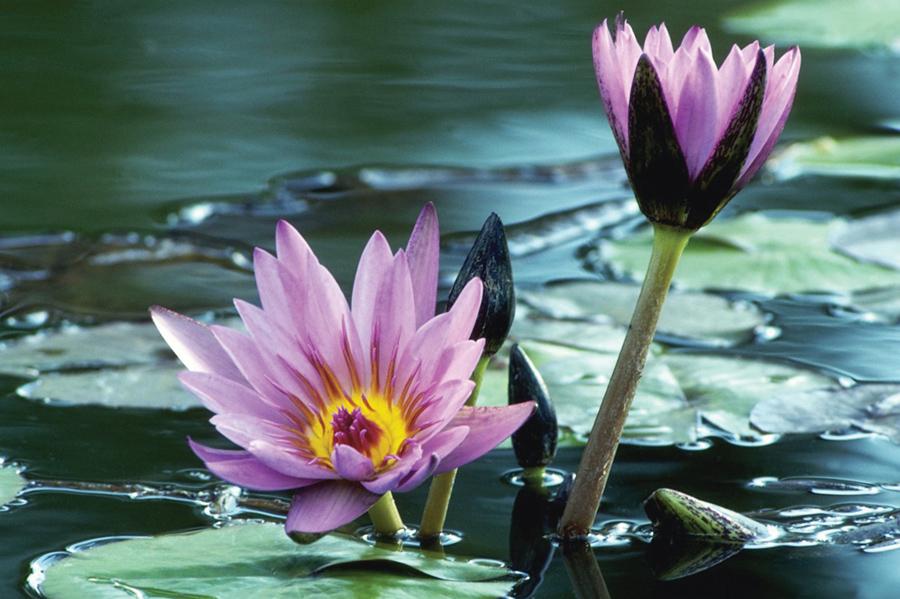 MP900407463 lavender waterlily.jpg