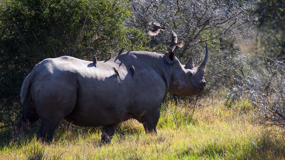 Rinoceronte Negro (Diceros bicornis) Foto: Marcio Lisa / Green Planet
