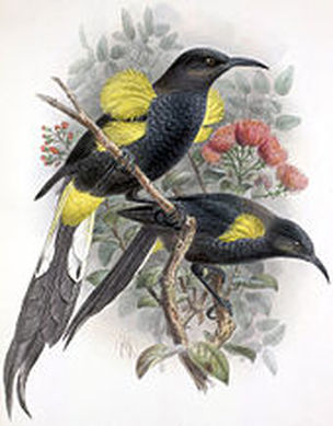 Hawaiʻi ʻōʻō (Moho nobilis), a honeyeater. Source: https://en.wikipedia.org/