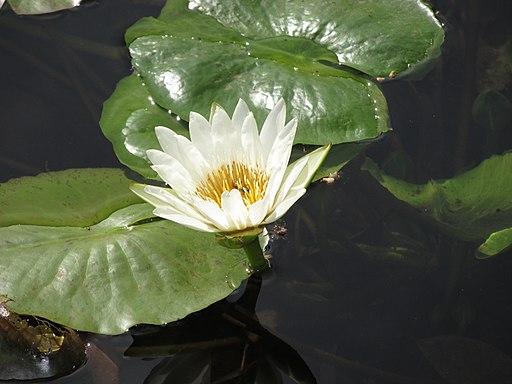 White lotus. Photo by Giriraj Navhal. Source: commons.wikimedia.org