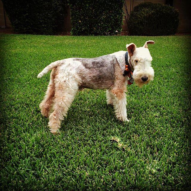 Skipper got a haircut. #cutedog #wirefoxterrier #dogsofinstagram