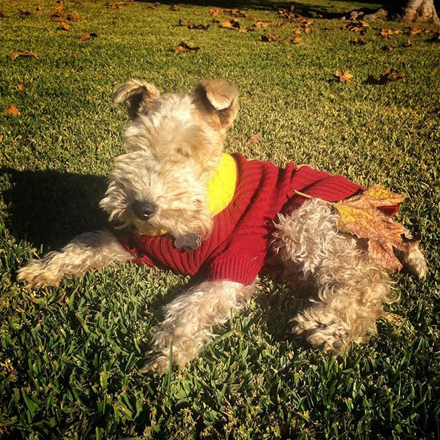 Skipper is not going to let something as simple as a leaf get in the way of his morning sun  basking. #wirefoxterrier #cutedog #spoileddog