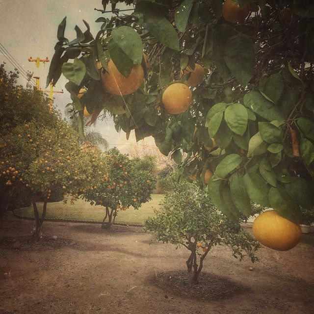 Our orchard in the backyard seems to be thriving. We may need to make a lot more greyhounds and mimosas. #fruit #cocktails #oranges #grapefruit #socalproblems #socalwinter