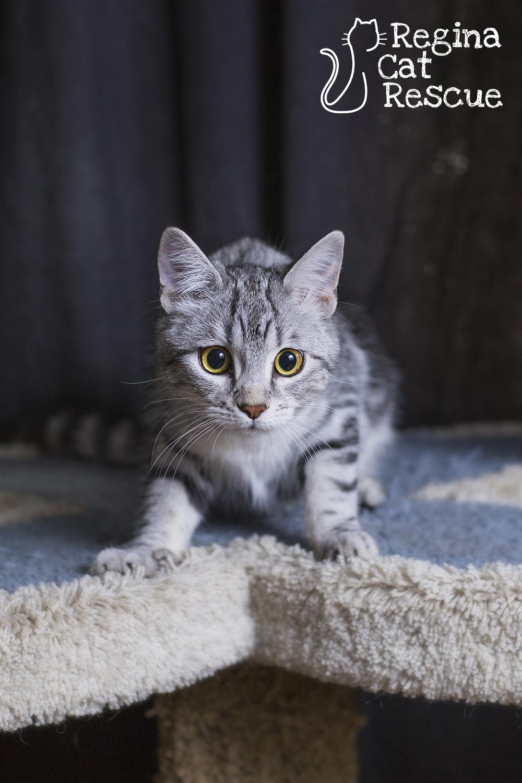 Phoenix — Regina Cat Rescue