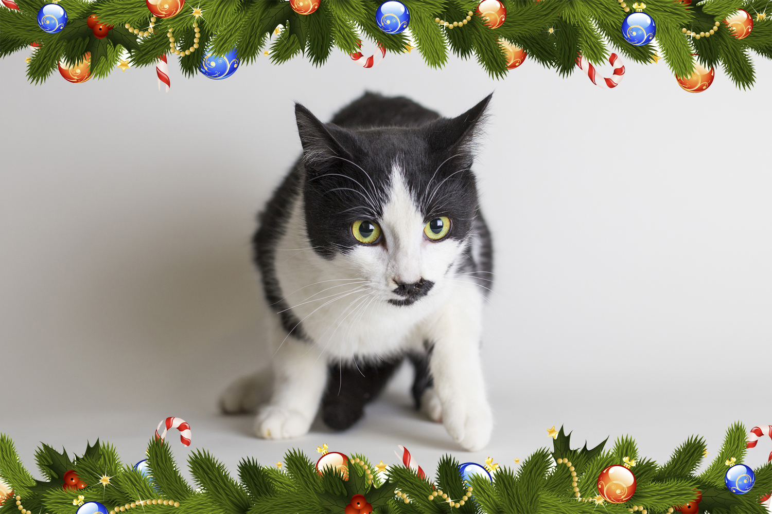 I\'ll be home for Christmas - Alfred — Regina Cat Rescue