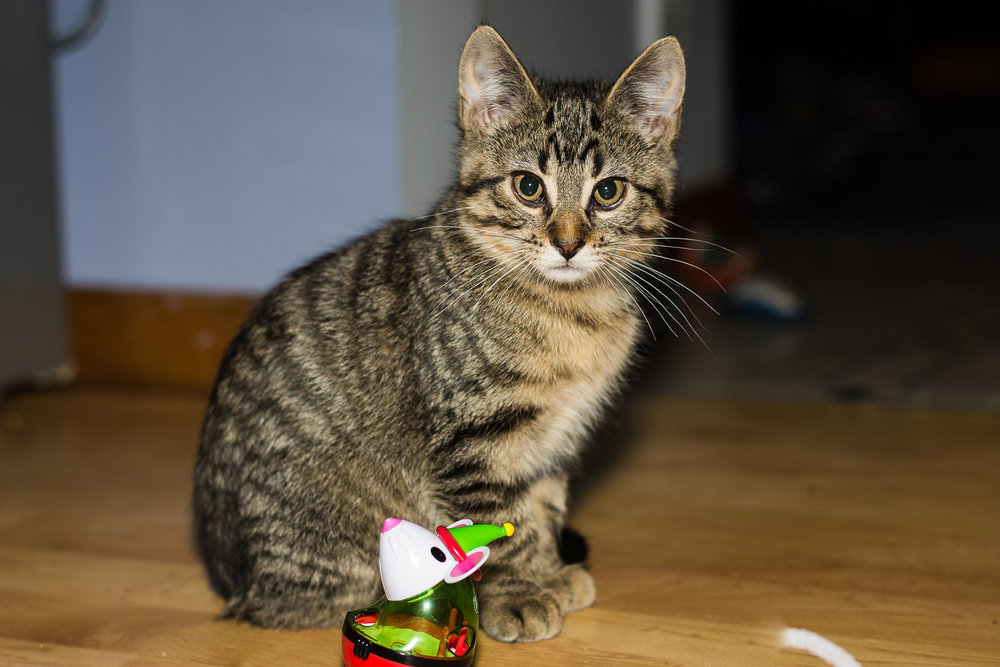 Hei Hei has rely on toys to play with now that his siblings have forever homes.