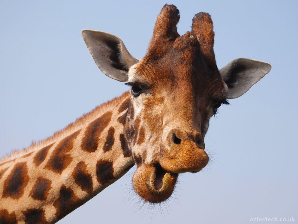 Yep, I'm a giraffe.