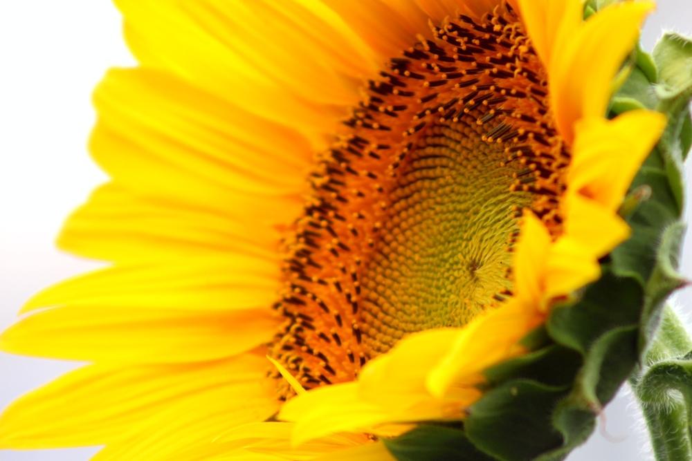 sunflower white sky.JPG