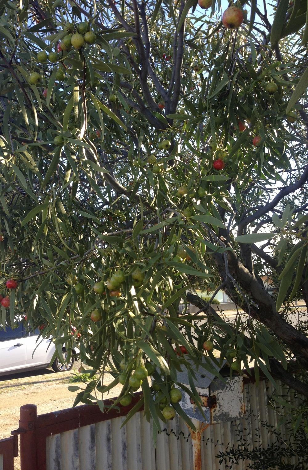 Broken Hill quandongs