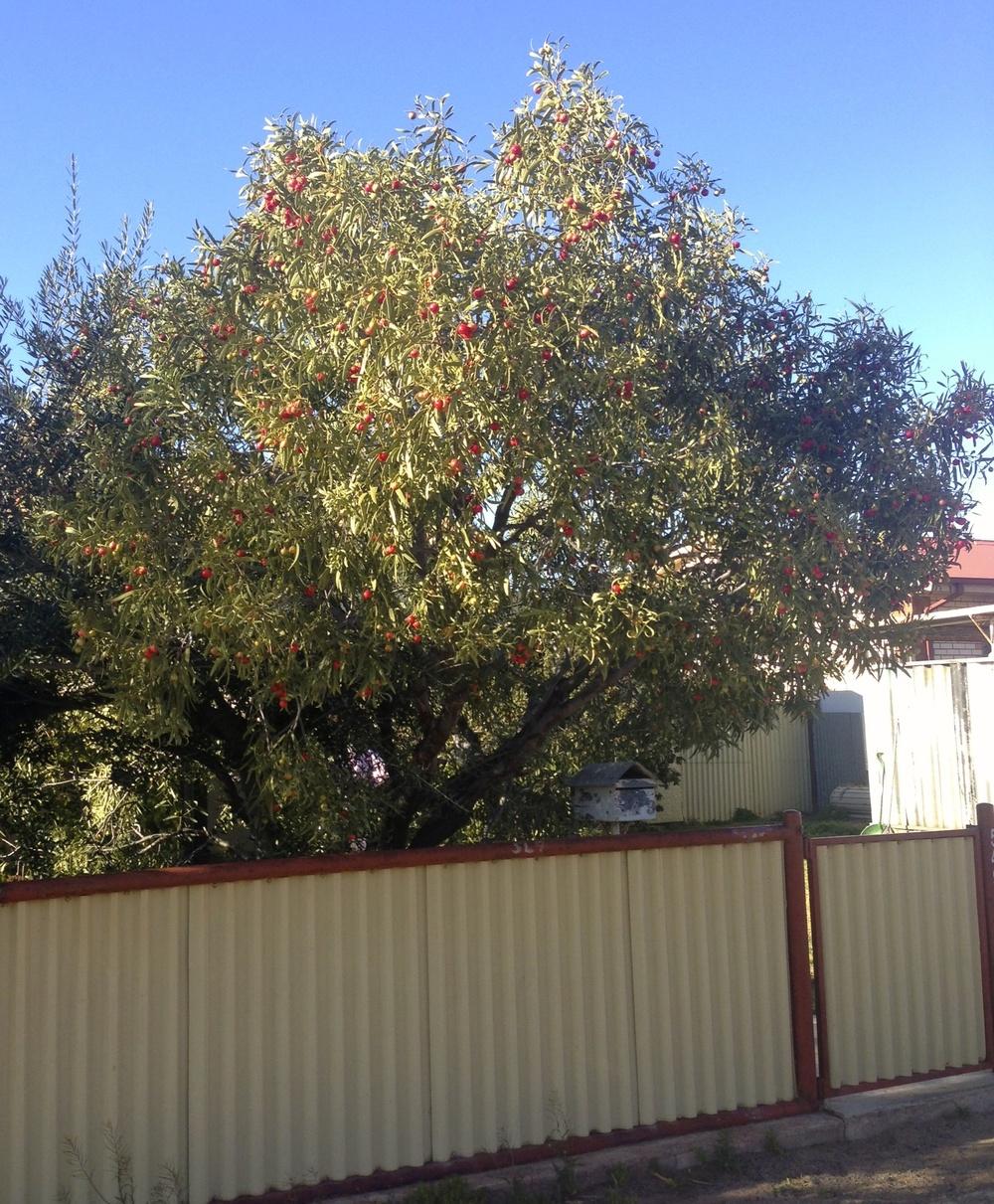 Broken Hill quandong tree