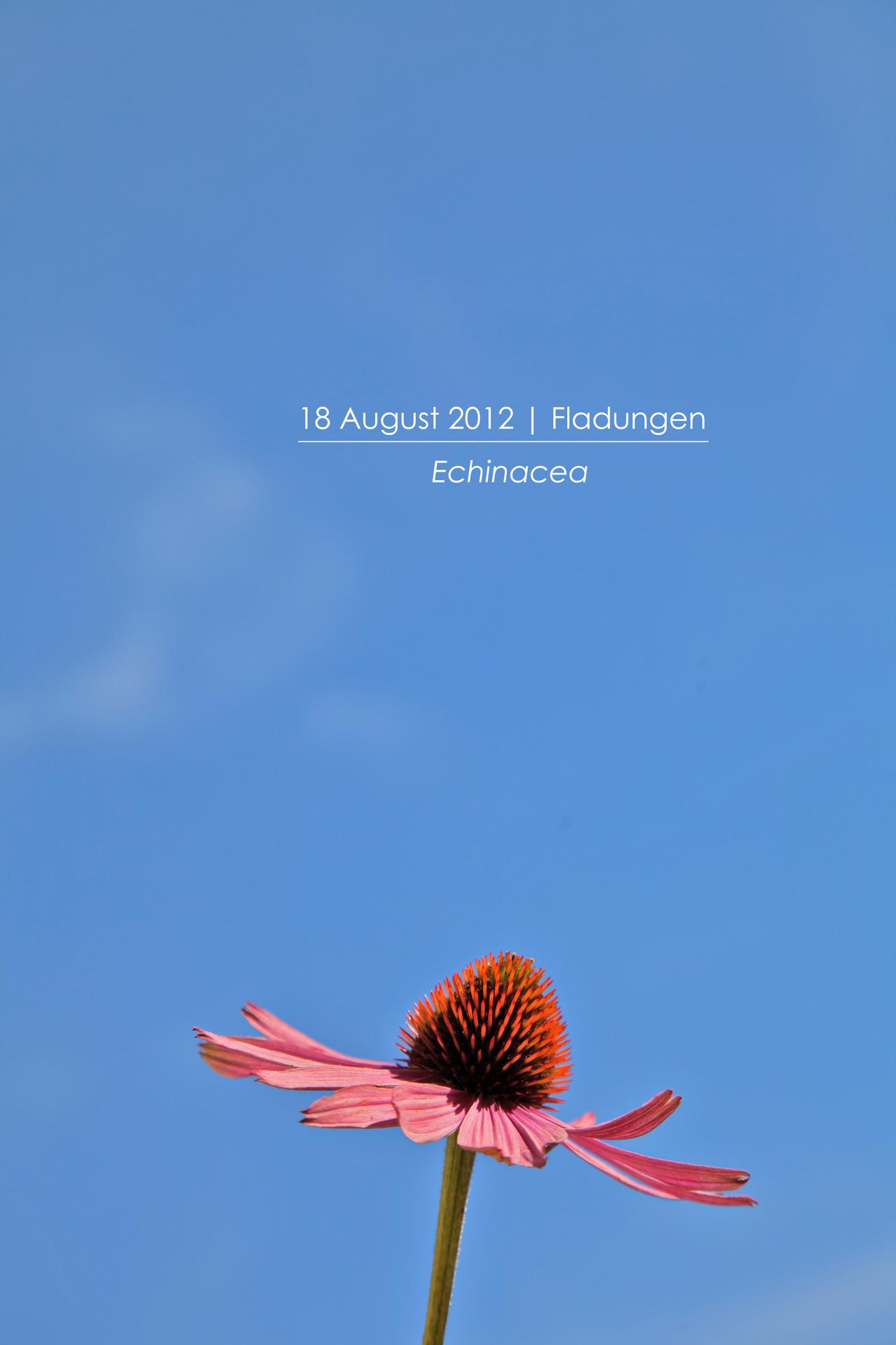 p366, take 321: Echinacea