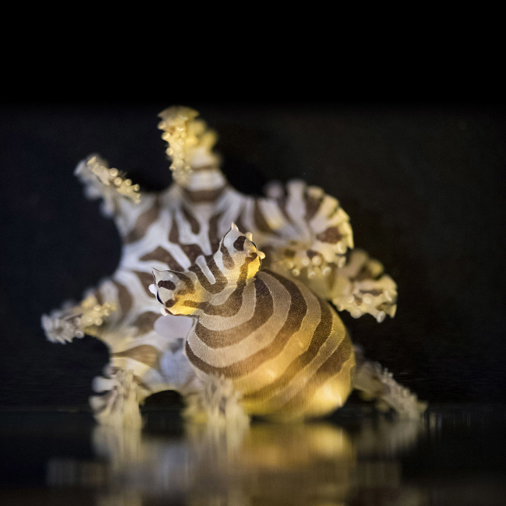 ocutopus chierchiae.jpg