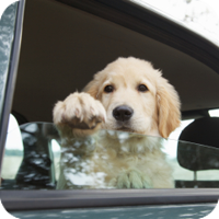 Pets should not be allowed to ride with their heads outside car windows. Particles of dirt can enter the eyes, ears, and nose, causing injury or infection.