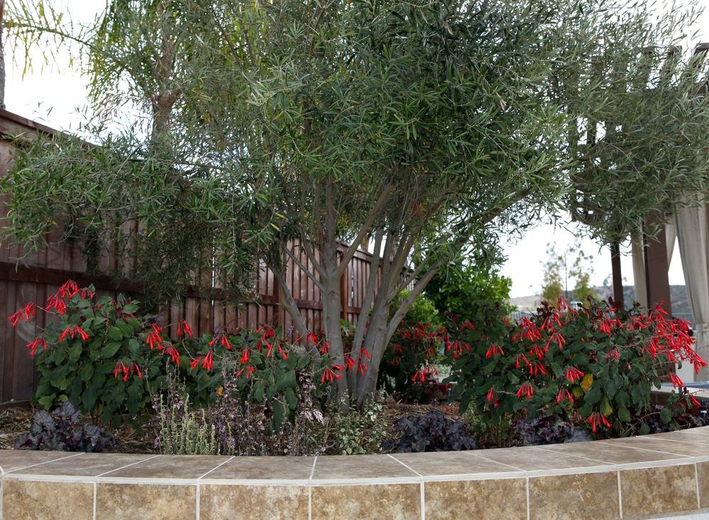 Singing gardens san diego 39 s landscape and garden designer for What to plant under olive trees