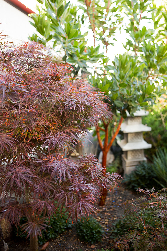 Japanese Garnet Maple Tree.jpg