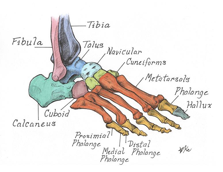 Foot bones2-KelseyChoo.jpg