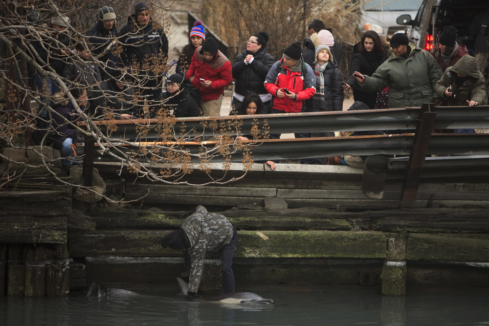 A man climbs down a retaining wall in an attempt to comfort a common dolphin trapped in Brooklyn's Gowanus Canal.