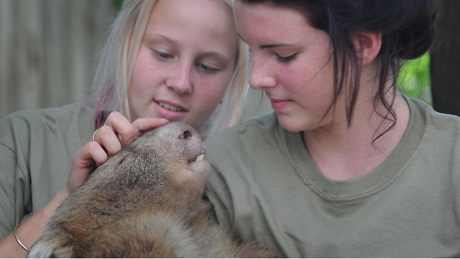 "A WOMBAT has been diagnosed with depression — after being denied the cuddles and pats he was used, to following Cyclone Yasi. The wombat, named Tonka, shed 20 percent of his body weight as visitors were stopped from visiting his wildlife park home in the eight weeks after Cyclone Yasi tore through northern Queensland, reported the Townsville Bulletin. Tonka's carers at the Billabong Sanctuary in Townsville spared no expense in vet checks and lab bills as they tried to work out the cause of his mysterious illness. Billabong Sanctuary manager Brett Flemming said after ""forking out some serious cash"" they found the problem — and have since nursed him back to health, in time for the repaired park to reopen. ""Tonka was hand-reared by one of our rangers and normally spends a good part of his day with people,"" he said. ""At Billabong he is the star. Everyone wants to visit Tonka. ""After the cyclone he missed the public - the patting, the photos, the cuddles and the endless posing for the paparazzi."""