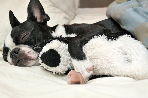 fuckyeahdogs :      fuckyeahbostonterriers :      fuckyeahcuteanimalss :      theanimalblog :      sixohthree :      Getting my beauty rest…  (by  Photography South )