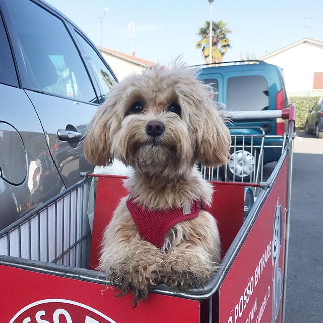 Shopping how it should be done. . . #maltipoopuppy #maltipoopuppies #maltipoo101 #maltipoo #moodles #newbornpuppy #newpuppy #multipoosofinstagram #puppiesofinstagram #toymaltipoo #toydog #pup #pupsofinstagram #mypuppyiscuterthanyours #mydogiscutest