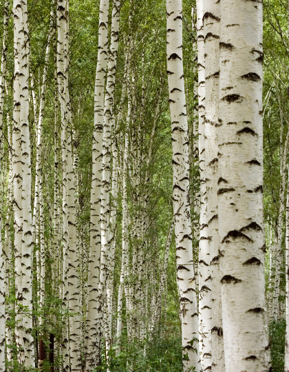 Why Birch Trees for our logo you may ask? Following the last Ice Age, the robust and weather-hardy birch tree would have been among the first to re-colonize ice-ravaged landscape - therefore known as a pioneering species.They are deep-rooted, and their roots draw up nutrients into their branches and leaves, which the trees use for their growth. Some of these nutrients are returned to the surface of the soil each year when the leaves fall in the autumn, thereby becoming available for other organisms to grow in the forest community. In Celtic mythology, the birch is also a symbol of renewal and purification, and we believe these represent our social mission providing disadvantaged individuals of Cornwall an opportunity to develop whilst with us overcoming all challenges - discovering their true potential.