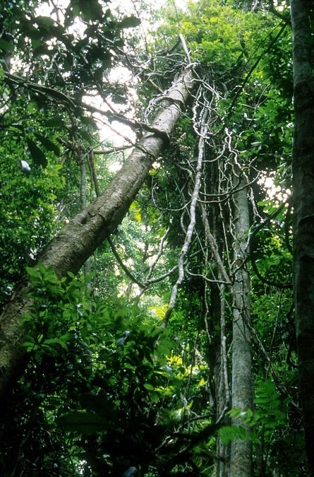 Woody vines (lianas) and trees are ancient enemies.