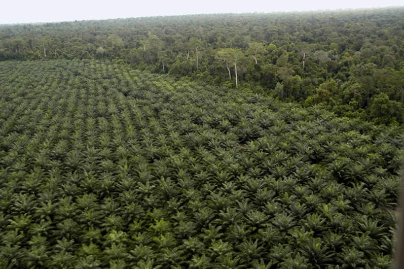 Oil palm: highly profitable and often deadly for tropical forests (photo by Niels Anten).
