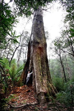 Last refuge for really really big trees... (photo by Angela Wylie)