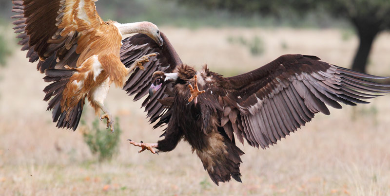 Cinereous and Griffin vultures scrapping in Spain (photo by Ralph Buij).