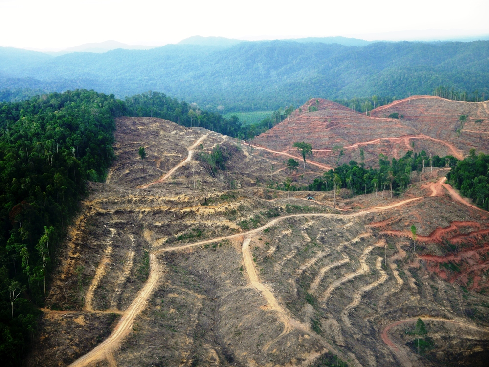 Legal?  Forest clearing by APRIL in Sumatra (photo by William Laurance)