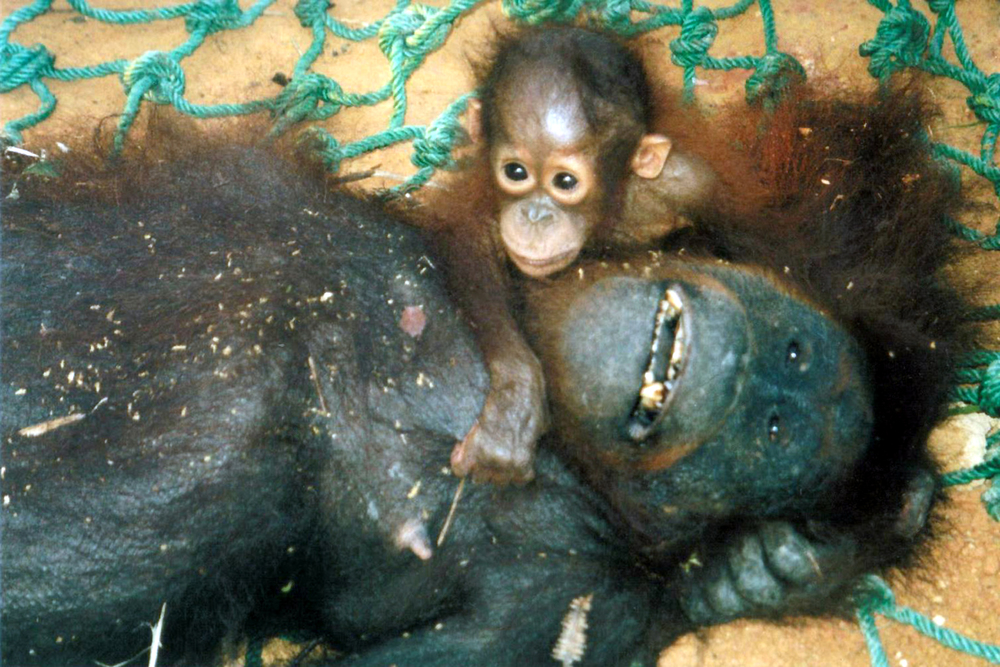 Baby Orangutan... prey for the pet trade