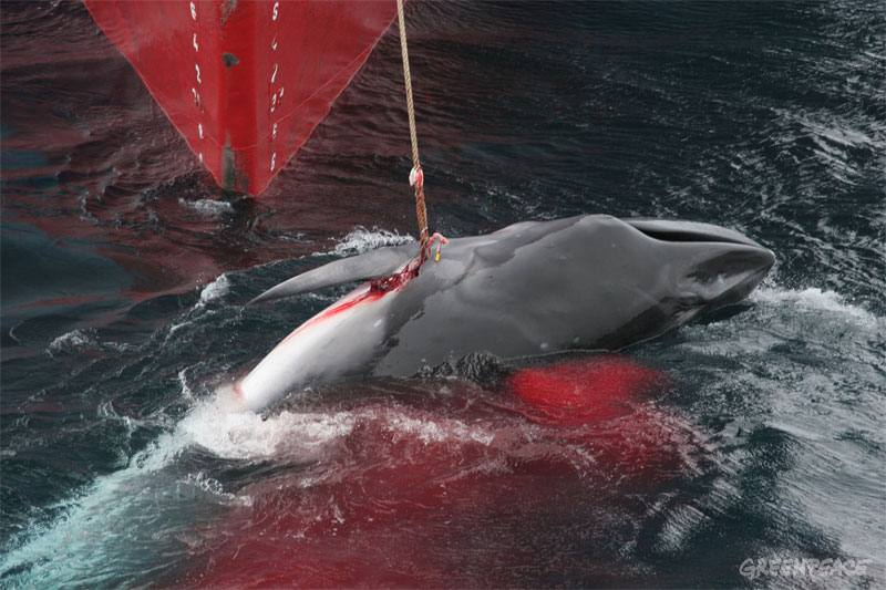 Sacrificed for science?  Dying Minke Whale in Antarctic waters (photo by Greenpeace)