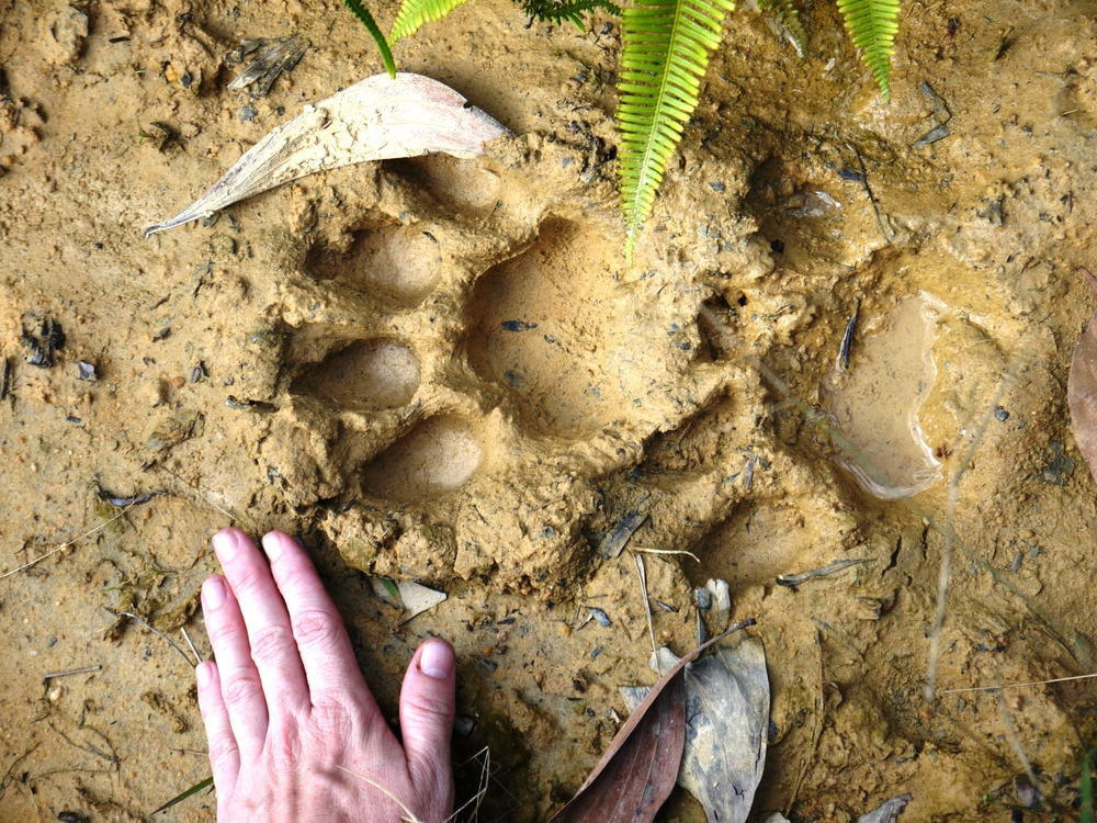 Rare real estate... tiger footprint in Sumatra (photo by William Laurance)
