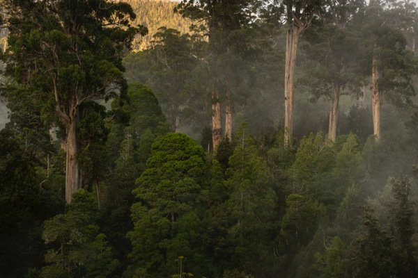 Imperiled forests in Tasmania (photo by Bill Hatcher)