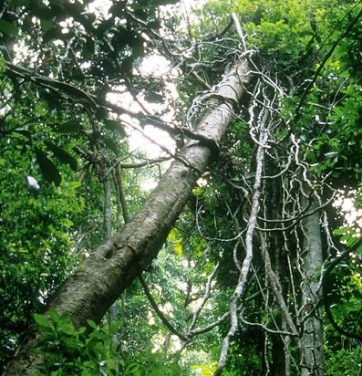 Vines like both forest disturbance and rising carbon dioxide (photo by William Laurance)