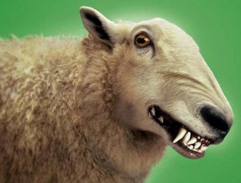 Some sheep bite