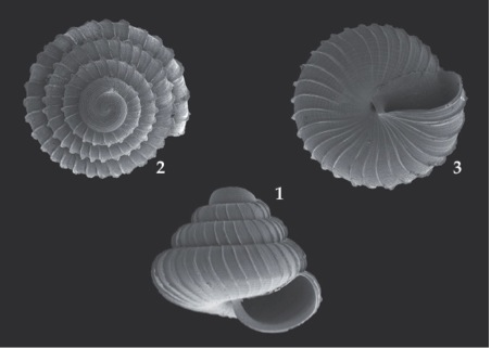 The newly discovered Lafarge snail  (from  Vermeulen & Marzuki (2014)    Basteria  78: 31-34)